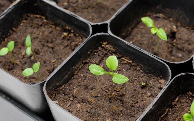 Công dụng giữ độ ẩm, nước cho đất của tã giấy giúp cây trồng phát triển tốt
