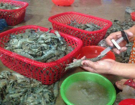 Cách phân biệt tôm bơm và tôm sạch dựa vào màu sắc và hình dáng bên ngoài