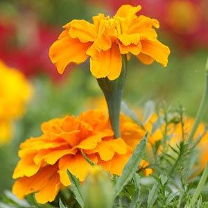 Hoa cúc vạn thọ được trồng nhiều như một cách chống muỗi