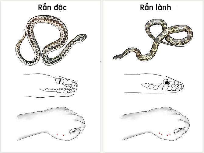 Sơ cứu rắn cắn
